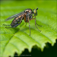 Green Eyed Gal (*ian*) Tags: hairy macro green eye nature closeup bug hair insect square fly leaf bush dof bokeh wildlife leg wing favourite bigemrg gettysubmitted