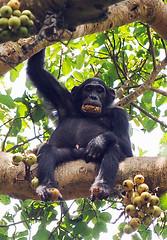 Chimpanzee 1/3 Kanyiyo Pabidi Sanctuary, Uganda