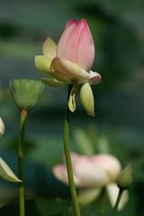 Lotus Bloosom (wwu124) Tags: minolta g sony 7d f56 rf maxxum 7020028 250mm 25056