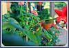 praying mantis (Pinks & Needles (used to be Gigi & Big Red)) Tags: garden desert 2011 gigiminor