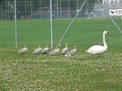 Schwanenfamilie (gali367) Tags: animal schweiz switzerland swan suisse familie wiese schwan aargau cygne tier vogel wasservogel neuenhof schwanenfamilie