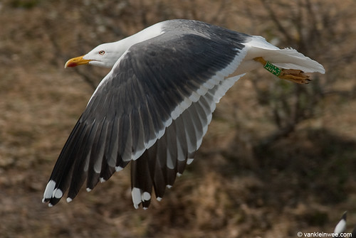 Lesser Black-backed Gull (L.f. graellsii), 18cy, G[F.AHP]