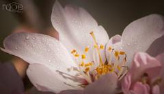 ROCIO (ROGE gonzalez ALIAGA) Tags: roja pink rosa flor naturaleza nikon colorido macro montaña 70300mm primavera primerplano paisaje luces lights sombras shadow