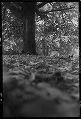 Agfa Box in the park (evilnick) Tags: autumn bw tree leaves box 6x9 agfa ilford delta400 henriettagardens 150ish