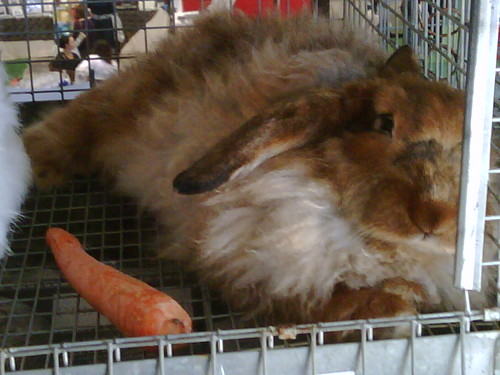 Angora bunny with carrot