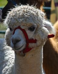 SoMD Llamas 2