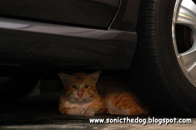 Evil cat under the car
