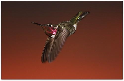 Hummingbird Flying in the Sunset