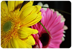 yellow & pink (lubats) Tags: flowers canon gerbera fiori colori millefiori gerbere gerberajamesonii canoniani canoneos1000d