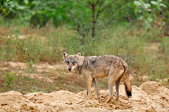 ADS_000006436 (dickysingh) Tags: wild india male nature wolf outdoor wildlife aditya rajasthan ravines singh dicky adityasingh ranthamborebagh theranthambhorebagh indianwolf wwwranthambhorecom