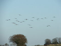 Coming in to land ( Claire ) Tags: geese norfolk beet anser sugarbeet pinkfoot pinkfootedgoose anserbrachyrhynchus rollesby pinkfootedgeese