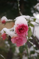 rose with snow (MatiasSingers) Tags: pink winter snow rose frost pinkrose ilroseto