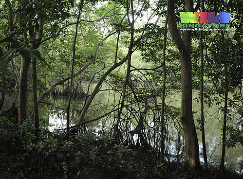 Mangroves at Kranji Nature Trail