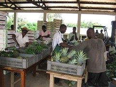 Fairtrade Pineapples being packed
