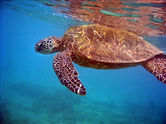 Honu: The ancients of Hawaii. (pixelmama) Tags: hawaii maui snorkeling honu gettyimages turtlebeach greenseaturtle mauinokaoi maluakabeach mauiisthebest pixelmamalovesturtles pixelmamaisaturtlegeek youshouldseeherdesk
