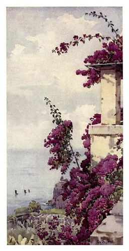 018-Buganvilla purpura en Madeira-The flowers and gardens of Madeira - Du Cane Florence 1909