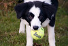 Did you really think I needed the XL ball? (fotoham) Tags: blackandwhite dog puppy bordercollie pup tennisball indi nikond3000
