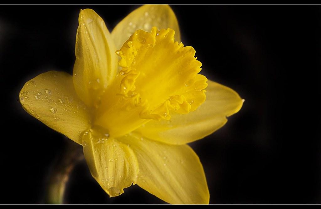 Daffodil (22 of 365)