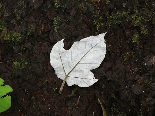White Leaf in the Ruins of Tikal Guatemala
