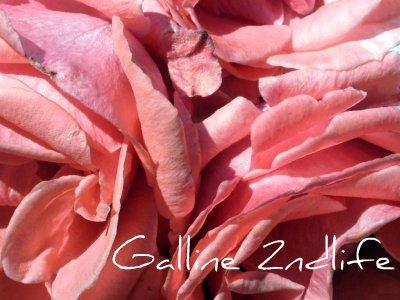 Rosa di Coira