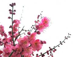 西九条公園 Ume flowers in 30% bloom