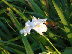 Iris japonica: In the sun