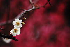 (bananagranola (busy)) Tags: winter tree japan japanese spring bokeh plum umeblossoms