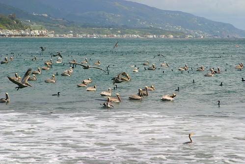 pelicans 027