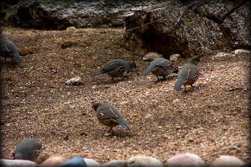 quail3