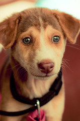 Puppy Dog (christian.senger) Tags: travel dog pet brown india cute face digital puppy fur geotagged eyes nikon asia soft dof availablelight goa explore fascination attraction lightroom d300 christian_senger:year=2010