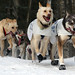 2010 Iditarod Ceremonial Start - Dogs of Michelle Phillips team cresting a hill near Anchorage, Alaska