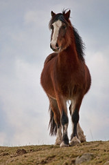 Hairy Cob (Dan Baillie) Tags: sky horse field grass animal scotland spring cob equestrian equine wigtownshire danbaillie bailliephotographycouk bailliephotography wigtownshirephotographer dumfriesandgallowayphotography