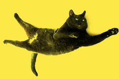 BlackCat super hero (nereis*01*) Tags: pet cats pets black closeup cat blackcat feline felines jojo blackcats rescuedcat
