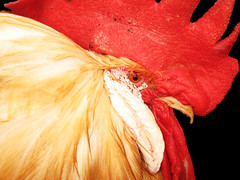 rooster (abcdz2000) Tags: bird chicken animal cock cocky bible rooster hen scripture lasb
