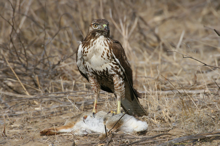 Red-tailed-Hawk-110908