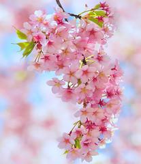 BUNCH OF SPRING (ajpscs) Tags: pink tree japan japanese tokyo spring nikon blossom 桜 日本 sakura nippon 新宿御苑 東京 hanami shinjukugyoen haru 春 d300 櫻 さくら 花見 サクラ ニコン ajpscs shinjukugyoennationalgarden ubiquitoussymbolofjapan enduringmetaphor ephemeralnatureoflife awesomeblossoms pinkisthecolorofspring