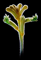 Kangaroo Paw (There and back again) Tags: flower macro yellow photoshop onblack kangaroopaw topazadjust
