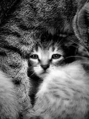 La protecció (protection) (Ferran.) Tags: roma cat nin catalonia gato catalunya gat pyrenees lluna ripolles