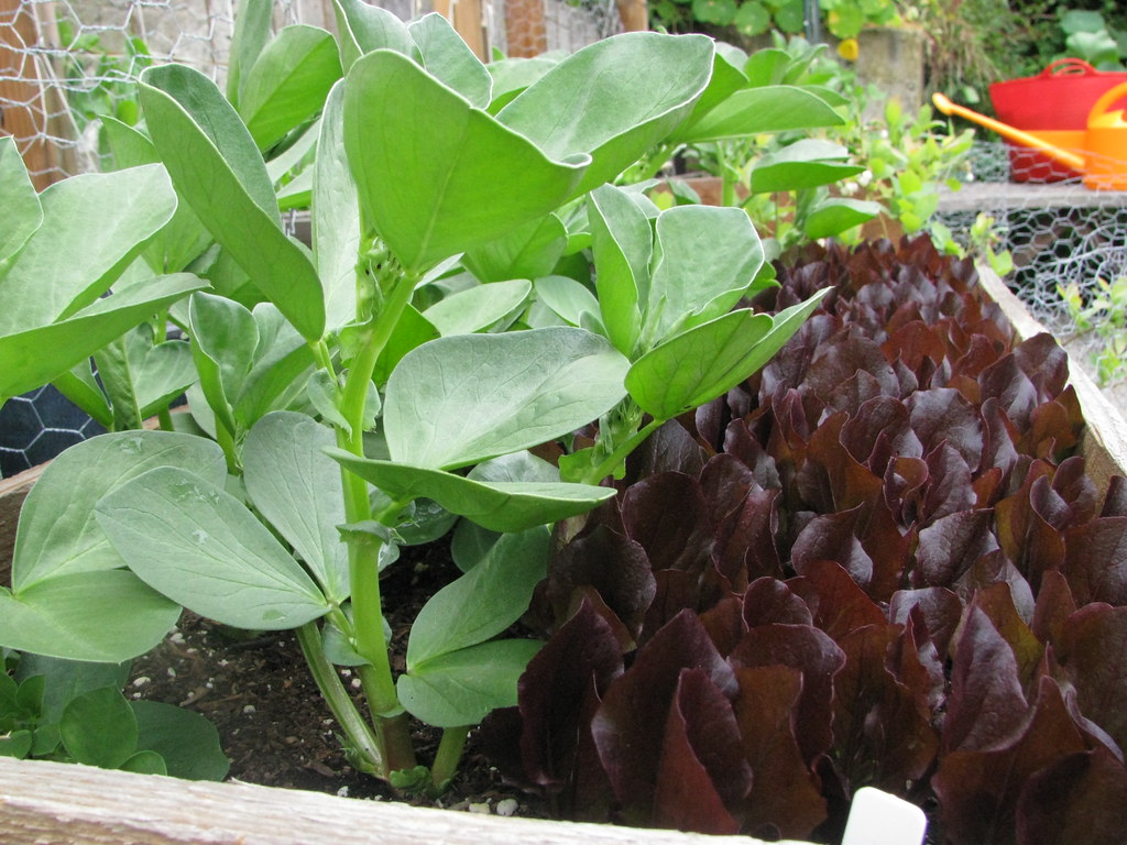 'Winsor' Favas & 'Sea of Red' Lettuce
