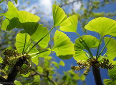 Ginkgo Backlit (LifeLover4) Tags: macro closeup spring buds leaves oakland tree supershot naturesfinest coth coth5 ginkgo bokeh bayarea california northerncalifornia mywinners closetohome backyard stickneydesign lifelover4 yellow blue green sd1100 powershotsd1100is ginkgobiloba hughstickney