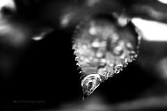 Silenzio. ([L] di .zuma) Tags: bw closeup canon 50mm bn foglia lente acqua biancoenero goccia silenzio nobile fiato