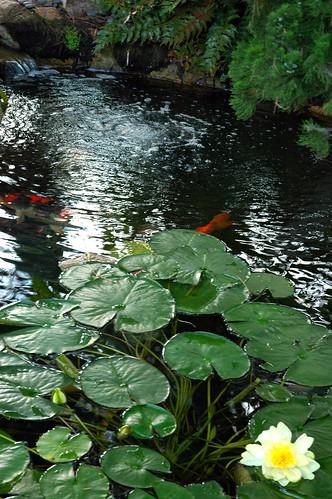 Five pure lights, koi pond with lily, Self-Realization Fellowship Meditation Garden, Encinitas, California, USA