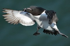 Razorbill (Alca torda) (AMKs_Photos) Tags: sea bird nature birds animal canon photography eos scotland aberdeenshire reserve cliffs seabird razorbill amk grampian alca torda crawton fowlsheugh 450d amksphotos