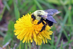Bumble Bee Feasting On Another Dandelion 007 (Chrisser) Tags: ontario canada nature insect bees insects bee bumblebee bumblebees tinging handselectedphotographs canoneosrebelt1i canonef75300mmf456iiiusmlens