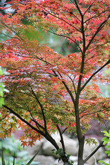 Acer - Doddington Place Garden (Jim_Higham) Tags: uk flowers england plants house english garden kent europe place britain gardening country eu british shrubs gentry hedges cultivated doddington gentrified