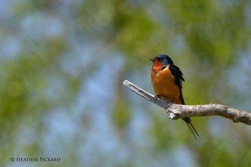 Eye-to-Eye-Barn-Swallow-2