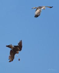 Northern Harrier Hawk Pair (m_Summers) Tags: bird nature utah northernutah hawk wildlife biology nesting bif birdinflight harrierhawk animalbehavior canon400mmf56 northernharrierhawk canon60d preyswap