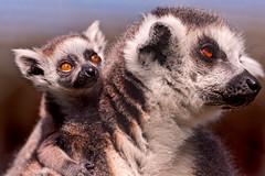 [フリー画像] 動物, 哺乳類, ワオキツネザル, 家族・親子(動物), 201106251100