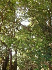 Fortingall Yew (Mama Tumshie) Tags: autumn scotland perthshire fortingall glenlyon