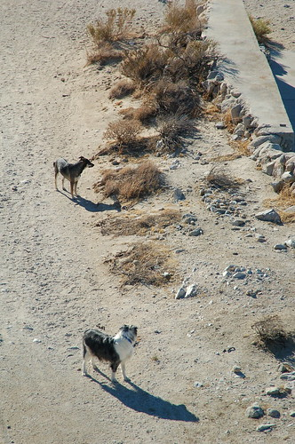 Dogs in the Jacumba desert near San Diego.